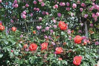 バラには、こんなにいろいろな種類があるのですね