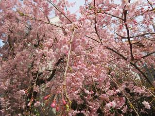 兼六園の桜満開