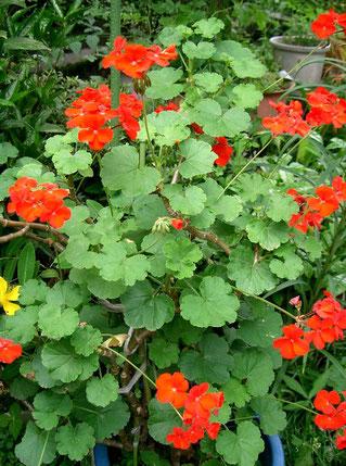 赤いゼラニュウム・・ヨーロッパでは多くの街で、窓辺にこの花を飾る。写真:出典: フリー百科事典『ウィキペディア(Wikipedia)』