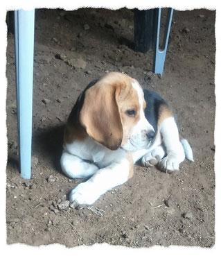 Beagle à l'école pour chiots à Dax