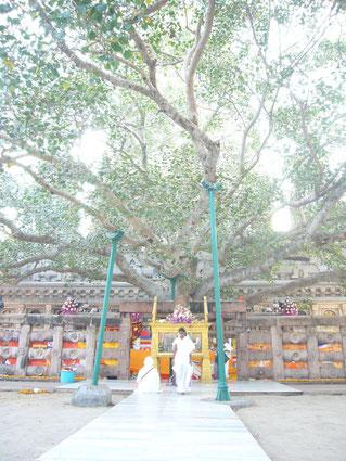 釈尊成道の聖地ブッダガヤーの菩提樹