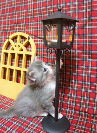 ノルウェージャン子猫 1番ちゃん⑦