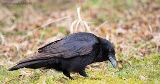 Krähe, Rabe, schwarzer Vogel
