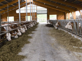 Blick in einen Kuhstall mit Kühen am Futtertisch