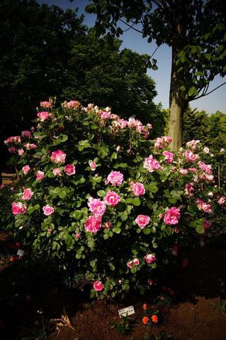 その名前通りケアがフリー、手のかからないバラ「ケアフリーワンダー」。白い名札が地面に見えるでしょう? これでバラの名前がわかるんだ~。親切だよね(^^)/