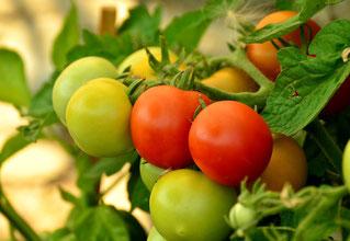 Die meisten Tomaten müssen einzeln geernet werden, sobald sie reif sind...