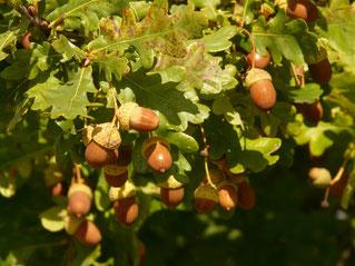 Früchte der Stieleiche (Foto: Pixabay/Hans Braxmeier)