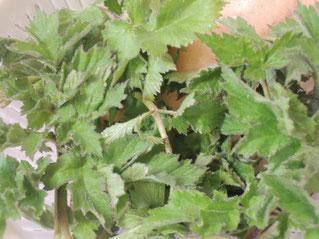 ウドナ〜ウドのような風味の山菜。見た目は全然違います。