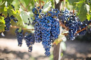 Culture des vignes - viticullteurs - avec Agralis irrigation
