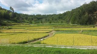 稲刈り前の棚田