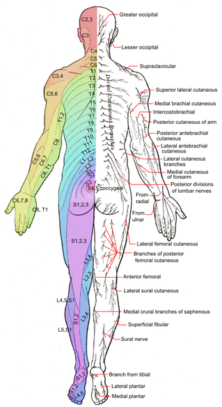 dermatomes of spinal roots, posterior view