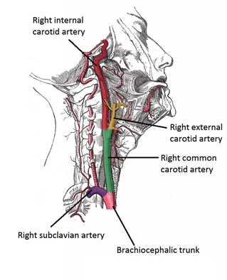 course of the carotid artery