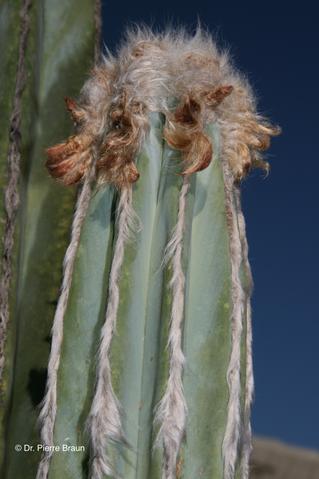 Pilosocereus hermii, Pflanze aus der Holotypaufsammlung / plant of holotype Collection / planta da coleção de holótipo