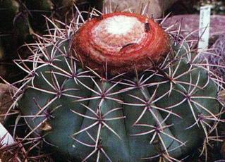 Melocactus lanssensianus, Holotyp