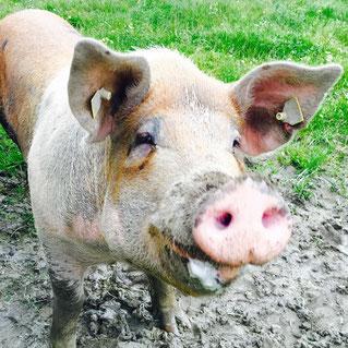 grøstadgris grøstad økologisk svin