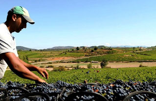 D.O.ビエルソの収穫2013年 (www.vinetur.com)
