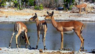 Gruppo di impala femmine (Aepyceros melampus).