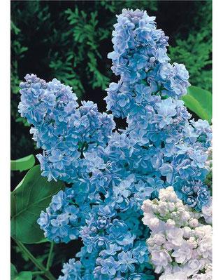 Elixir Floral de Lilas