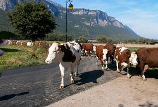 Troupeaux de vaches ferme du grésivaudan