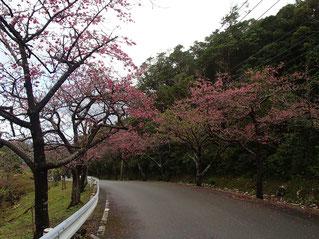 桜 開花状況 2月6日