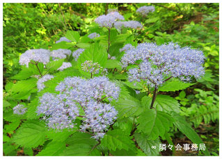 ∞ 小紫陽花(コアジサイ)日本固有種