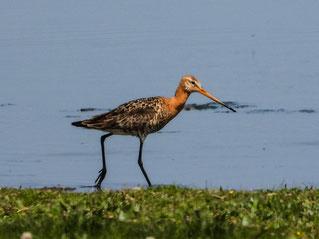 Uferschnepfen sind im Bestand bedroht. - Foto: Kathy Büscher