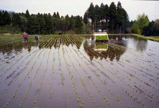 die Reisfelder sind vom Staat subventioniert