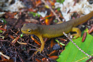A young adult Eastern Red-spotted Newt