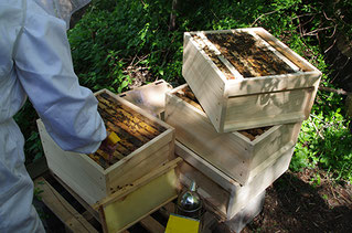 Imkerin bei der Arbeit Honigbienen NABU Düren