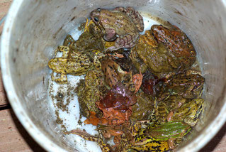 Amphibienschutz Kindergruppen NABU Düren