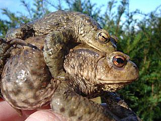 Erdkrötenpaar Amphibienschutz Amphibienschutzzaun NABU Düren