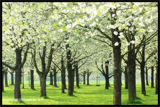 Hannover Hiroshima Gedenkhain Kirschblüte