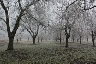 Winter, rijp , kersenboom, kersenboomgaard de Themaat