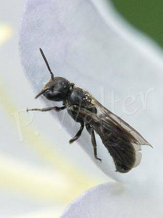 10.06.2018 : wahrscheinlich ein Männchen der kleinen Glockenblumen-Scherenbiene