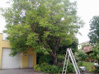 Fällung eines morschen Nussbaumes