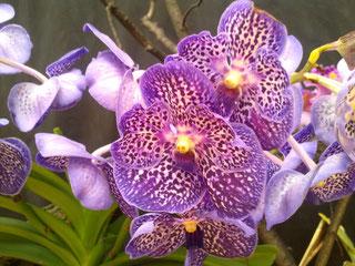 Orchideenausstellung Villach