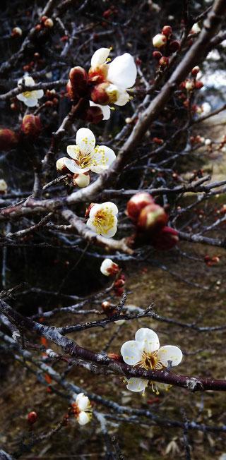 山菜料理ふきのとうたらの芽こしあぶらこごみこんてつ中津川の春