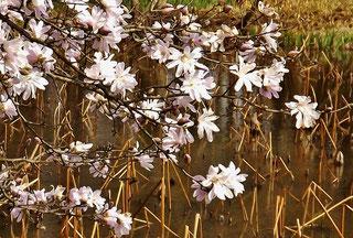 準絶滅危惧種絶滅危惧Ⅱ種東海丘陵要素植物シデコブシはなのきハナノキ