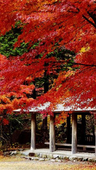 夕森公園もみじ川上川。中津川の里山の美しい紅葉真っ盛り