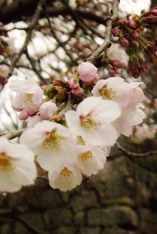 苗木城桜開花2017H29の見ごろは4/中旬4/15~4/20頃桜の名所。苗木城跡食事処和食処ランチ