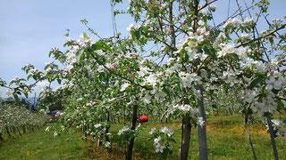 5月りんごの花が満開です♪