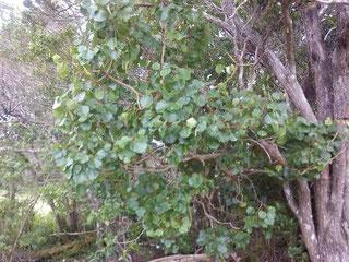 'Ōlapa Tree