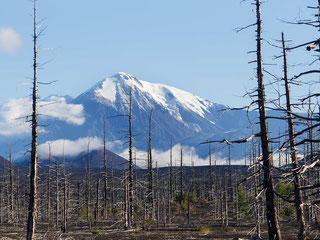 The Dead Forest of Tolbachik volcanoes