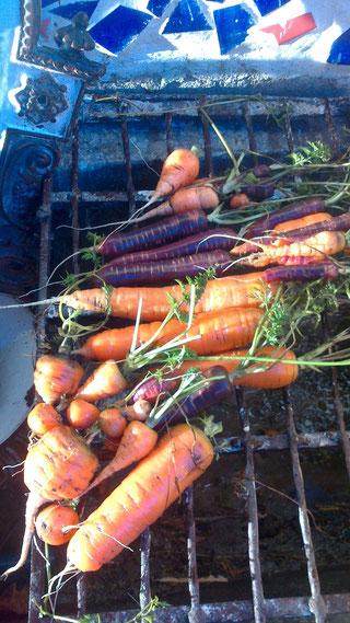 Jänner 2014 bei Plus 12 Grad erste Ernte im neuen Jahr  Karotte..4 verschiedene Sorten: kugelige, stumpfe, spitze, violette ,insgesamt ca.2 kg