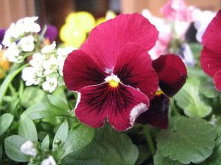 色鮮やかなビオラは冬から春の花壇を彩る代表選手