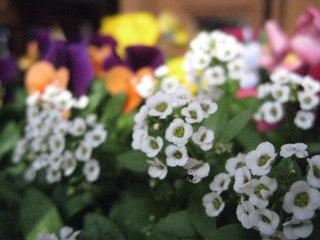 アリッサムは白い小花が集まっていて可憐な花です