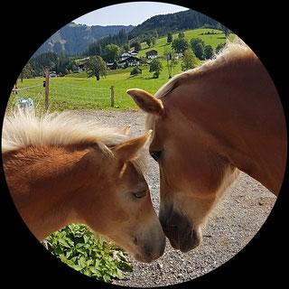 Reiten auf Haflingerpferd Selina                  - hier mit Fohlen Swila