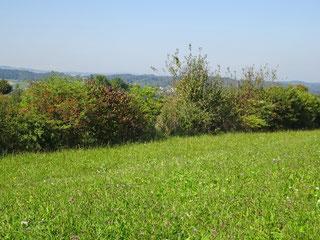 Der Neuntöter benötigt Hecken mit Dornsträuchern und Insektenreiche Wiesen oder Weiden in seinem Lebensraum. Foto: BirdLife Schweiz