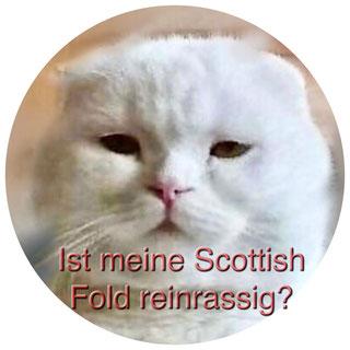 Ist meine Scottish Fold Katze reinrassig?