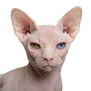 Sphynx Katze, odd eyed, ohne Vibrissen, Foto: fotolia.de, (c) Eric Isselée